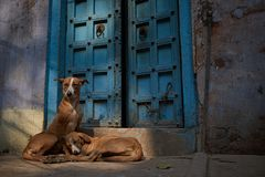 Stray dogs resting in Varanasi, India stock images