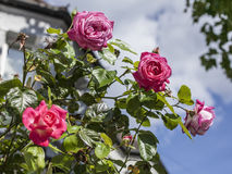 Streets of London, roses. Stock Photo