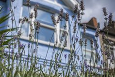 Streets in London - violet flowers and blue houses. This image shows a view of a park in London. It was taken on a sunny day in summer 2018. We see some violet stock images