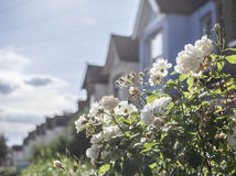Streets of London - white roses. Stock Images