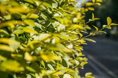 Streets of London, a yellow hedge in the sunshine. Stock Photography