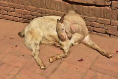 Nepal, Bhaktapur, goats on the street. On the streets and in the temples of the cities of Nepal you can meet different species of animals that people feed to Royalty Free Stock Photography