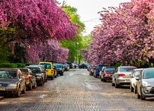Streets of Uzhgorod in cherry blossom. Uzhgorod, Ukraine - April 13, 2016: streets of Uzhgorod in cherry blossom. beautiful springtime background on sunny Royalty Free Stock Photos