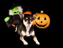 Strega della chihuahua di Halloween fotografie stock