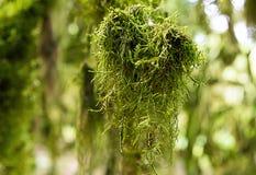 Stregare il primo piano esotico della pianta del muschio di verde lungo insolito del legno di bosso sulla foresta soleggiata del  fotografia stock libera da diritti