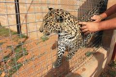 Streicheln eines Leoparden in einem Käfig Lizenzfreies Stockbild