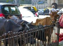 Streicheln Sie die Kuh in der Stadt Lizenzfreies Stockfoto