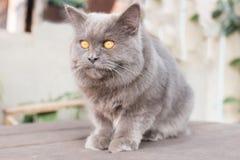 Streicheln Sie die persische Katze, die auf einer Tabelle sitzt, die nach vorn schaut Stockfotografie