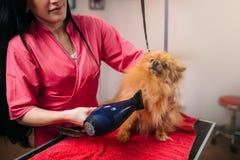Streicheln Sie Groomer mit Haartrockner, Hund im Pflegensalon stockfoto