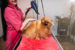 Streicheln Sie Groomer mit Haartrockner, Hund im Pflegensalon stockfotografie