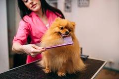 Streicheln Sie Groomer mit Kamm, Hund im Pflegensalon Stockbild