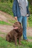 Streicheln Sie Inhaber mit Brown großes Labrador auf natürlichem Hintergrund stockfotografie