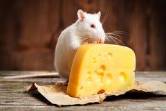Streicheln Sie Ratte mit einem großen Stück Käse Stockfoto