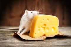 Streicheln Sie Ratte mit einem großen Stück Käse Lizenzfreies Stockfoto