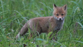 Streichelnde Junge des roten Fuchses stock footage