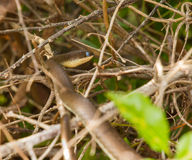 Streifen-aufgeblähtes Sand-Schlangenhautostc$verschütten Stockfotografie