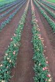 Streifen der Tulpen Rote, purpurrote und weiße Krägen Stockfotografie