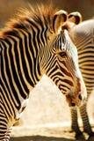 Streifen eines Zebras stockbilder