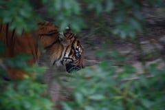 Streifen im Dschungel Stockbild