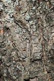 Streifen Sie hölzerne Beschaffenheit Klein-leaved Limettenbaum Tilia Cordata ab Lizenzfreies Stockfoto