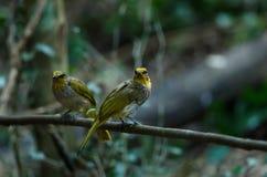 Streifen-throated Bulbul-Vogel, stehend auf einer Niederlassung in der Natur Stockfoto
