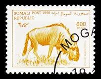Streifengnu (Connochaetes taurinus), Somalia-serie, circa 1998 stockbilder