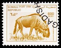 Streifengnu (Connochaetes taurinus), Somalia-serie, circa 1998 lizenzfreies stockbild
