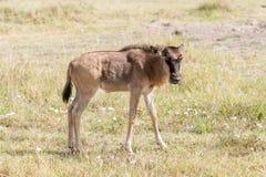Streifengnu in Tansania Lizenzfreie Stockfotografie