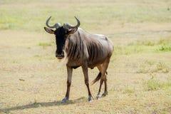 Streifengnu in Tansania Lizenzfreies Stockbild