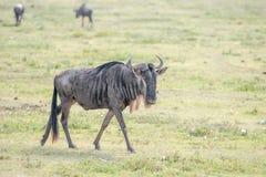 Streifengnu in Tansania Lizenzfreies Stockfoto