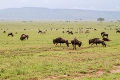 Streifengnus, die in Serengeti-Landschaft laufen und spielen lizenzfreies stockfoto