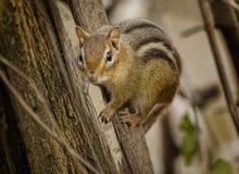 Streifenhörnchen Lizenzfreie Stockfotos