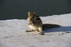 Streifenhörnchen Lizenzfreies Stockfoto