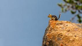 Streifenhörnchen auf dem Rand Lizenzfreies Stockfoto
