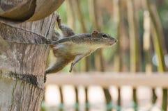 Streifenhörnchen auf der Palme Sri Lanka Lizenzfreie Stockfotos