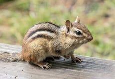 Streifenhörnchen auf der Plattform Lizenzfreie Stockbilder