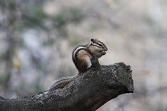 Streifenhörnchen auf einem Baumast Lizenzfreie Stockfotografie