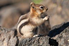 Streifenhörnchen auf einem Felsen Stockfoto