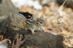 Streifenhörnchen auf einem gefallenen Baumstamm Lizenzfreie Stockbilder