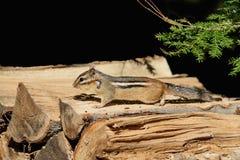Streifenhörnchen auf einem hölzernen Stapel Stockbild
