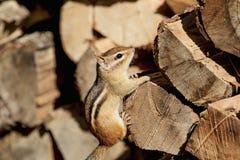 Streifenhörnchen auf einem hölzernen Stapel Lizenzfreies Stockfoto