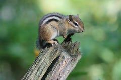Streifenhörnchen auf Klotz Stockfotografie