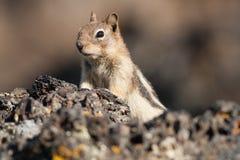 Streifenhörnchen-Ausblick Stockfotos