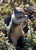 Streifenhörnchen - Avila-Strand - Kalifornien-Küste Lizenzfreies Stockbild