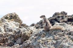 Streifenhörnchen Berber Stockbilder