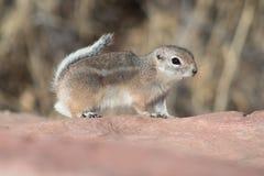 Streifenhörnchen, das über den roten Felsen läuft stockbilder