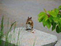 Streifenhörnchen, das auf Blumen speist Stockbild