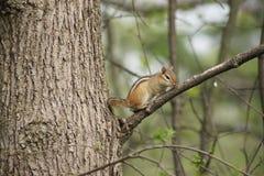 Streifenhörnchen, das auf einer Niederlassung stillsteht Lizenzfreies Stockbild