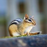 Streifenhörnchen, das auf Klotz sitzt Stockfoto