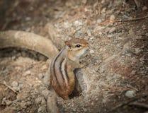 Streifenhörnchen, das aus den Grund sitzt und herum im Park schaut Lizenzfreies Stockbild